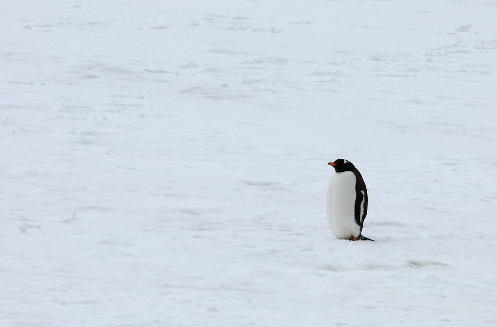 A lone  gentoo penguin (Pygoscelis papua) stands on the snow above Shingle Cove. Shingle Cove, Coronation Island, South Orkney Islands. 28Feb16