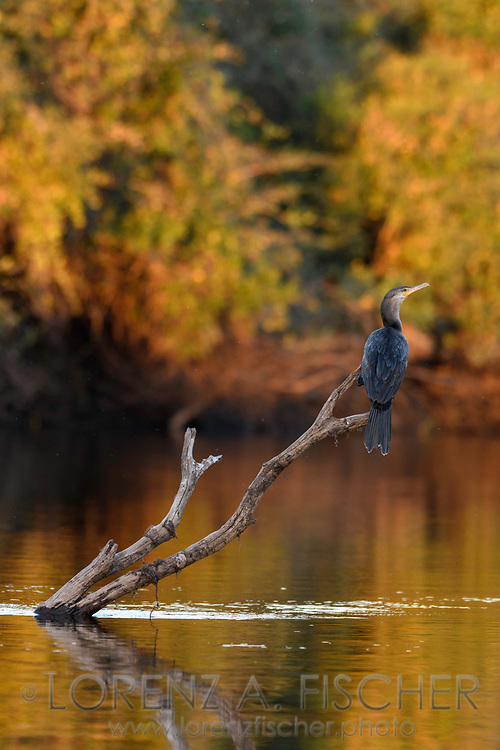 An olivaceous cormorant (Phalacrocorax brasilianus) on a branch in the Pantanal, Mato Grosso do Sul, Brazil