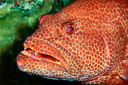 tiger grouper, .Mycteroperca tigris, .Sergeant Major Reef, .Cayman Brac (Caribbean).