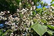 Catalpa tree in Oxfordshire, UK
