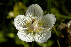 Parnassia, Parnassia palustris
