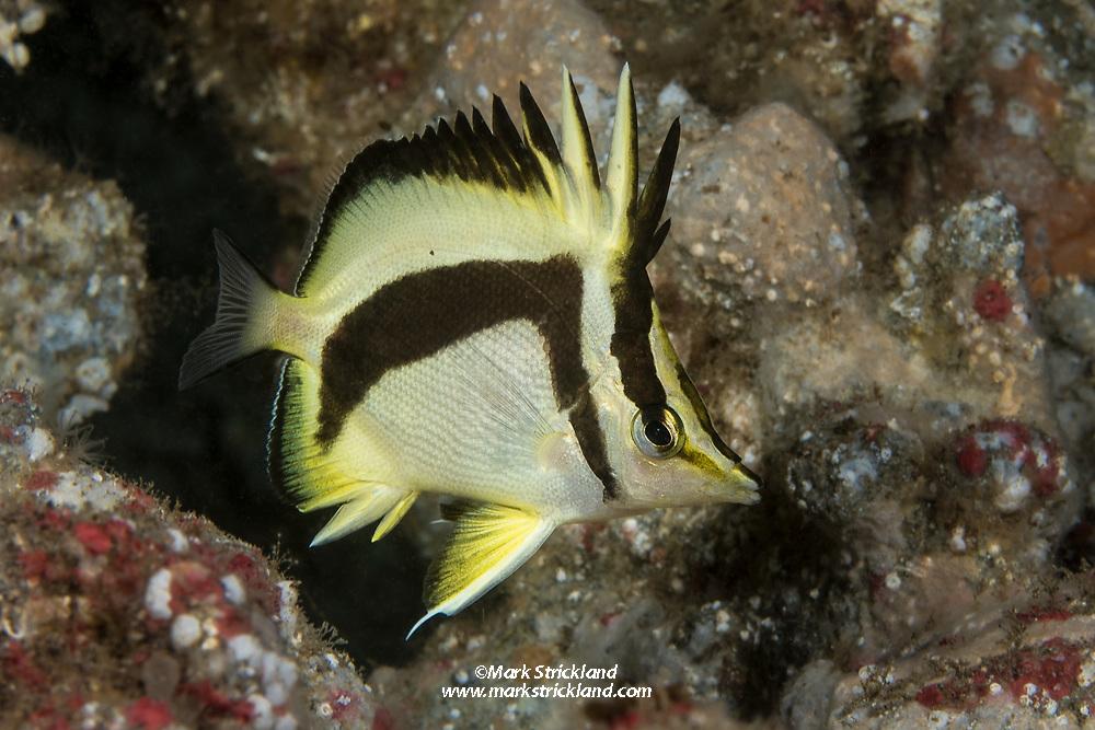 Scythe butterflyfish, Prognathodes falcifer, San Clemente Island, Channel Islands, California, USA, Pacific Ocean