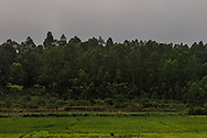 Rice fields extend to the edge of the forest in the old village of Duong Lam, Son Tay Town, Hanoi outskirts, Vietnam, Southeast Asia
