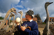 Ostrich farmer Robert Bailey with some of his self-reared birds and one of the giant eggs on his farm near Chepstow, Wales. ..Rearing these birds is a specialist and very expensive business but Ostrich meat is a South African delicacy, used for Biltong. Nutritionists promote it as a more healthy alternative because it is higher in protein and lower in fat and cholesterol. An ostrich lays an egg every other day, of which 40 to 80% are fertile. In the wild there is a 95% failure rate but using an incubator like this almost guarantees total success. Its latin name, 'Struthio camelus', is the largest of living birds with some males reaching a height of 8 ft (244 cm) and weighing 200 to 300 lb (90-135 kg). In the wild, the polygamous male has from two to six females in his flock. The cock scoops out a hollow for the eggs, which weigh nearly 3 lb (1.35 kg) each. One of the females incubates the eggs during the day, and the cock takes over at night. On the savannah they can run at 40mph (64 kph) for 10 hours though their top speed can reach 80mph. During the 19th-century vogue for ostrich plumes, farms were established in South Africa and later in North America, Australia, and Europe; after World War I fashions changed and the industry collapsed.