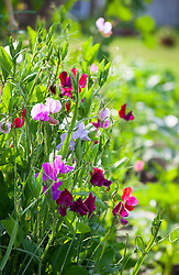 Sweet peas growing up cane structure