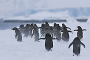 Adelies leaving the nest and heading out to the sea in a group, during a snow storm.