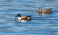 A pair of Northern Shoveler (Anas clypeata) ducks swimming in lake, Annapolis Royal Marsh, French Basin trail, Annapolis Royal, Nova Scotia, Canada