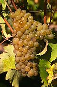 Bunches of ripe grapes, chenin blanc. Chateau de Passavant, Anjou, Loire, France