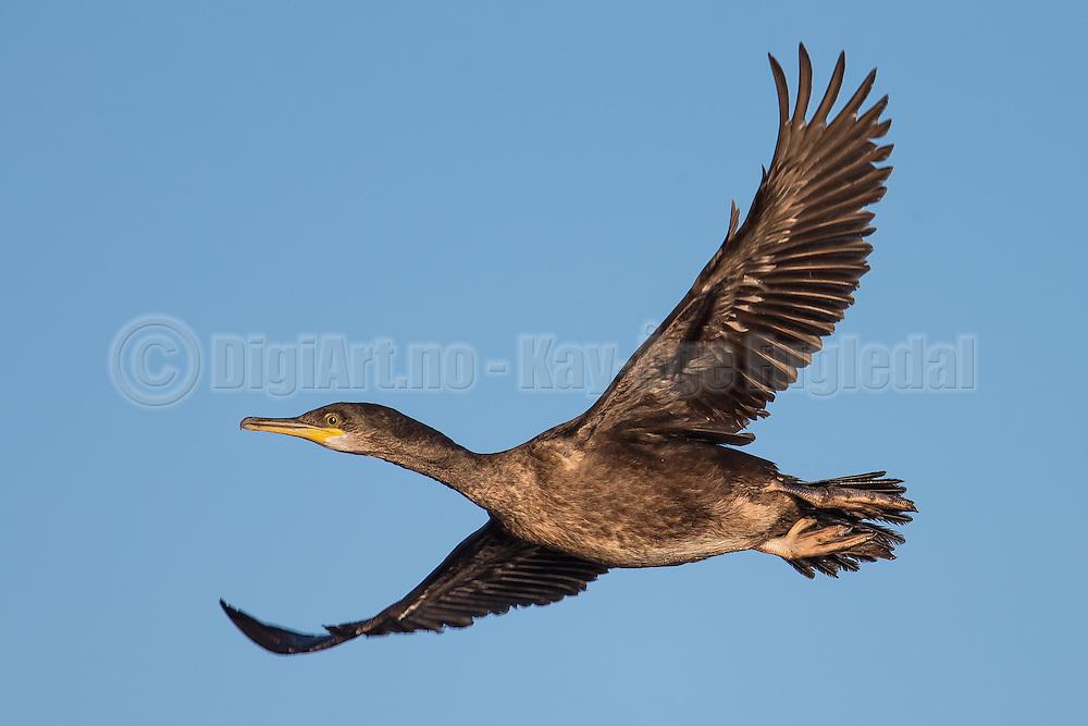 Great cormorant in flight   Storskarv i flukt