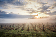 Vineyards in chianti region of Tuscany enveloped by fog in a cold winter morning