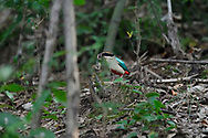 Fairy Pitta, Pitta nympha, sitting on the ground in the forest with a worm in its beak, Guangshui, Hubei province, China