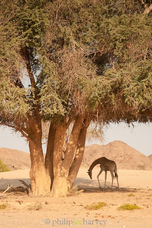 Giraffe, Hoanib River, Skeleton Coast, Northern Namibia, Southern Africa