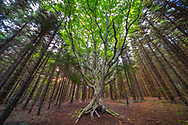 A large yellow birch tree stands in stark contrast to a surrounding tall pine forest.