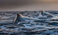 Three Humpback whale are resting on the surface of the freezing cold water outside Tromsø, Norway, tired from hunting Herring in the deep.