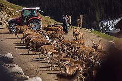 THEMENBILD - Rotwild, Hirsche, Ziegen und Mufflon werden im offenen Wildtiergehege direkt neben den Besuchern gefüttert, aufgenommen am 07. März 2019 in Aurach, Oesterreich // deer, goats and mouflon are fed in the open wildlife enclosure right next to the visitors, Austria on 2019/03/07. EXPA Pictures © 2019, PhotoCredit: EXPA/Stefanie Oberhauser