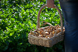 Carrying a basket of harvested onions. Allium cepa