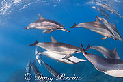 pod of Hawaiian spinner dolphins or Gray's spinner dolphin, Stenella longirostris longirostris, resting and socializing, with one pari mating, North  Kona, Hawaii ( the Big Island ), USA ( Central Pacific Ocean )