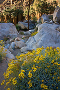 A palm oasis and wildflowers in Borrego Palm Canyon, Anza-Borrego Desert State Park, California.