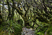 Gnarly, mossy forest branches on Routeburn Track in Fiordland National Park, near Te Anau, Southland region, South Island of New Zealand. In 1990, UNESCO honored Te Wahipounamu - South West New Zealand as a World Heritage Area.