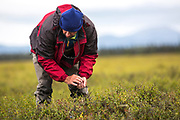 Picking blueberries, Alaska