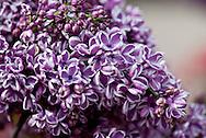 Syringa Lilac