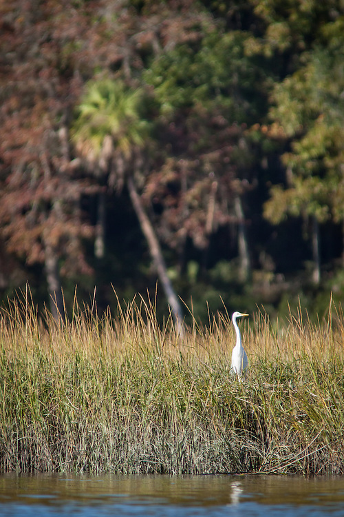 Egrets gather and fish in the morning light along the edge of a marsh in the May River.
