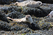 Common Seal or Harbour Seal, Phoca vitulina, pair basking on rocks and seaweed by Dunvegan Loch, Isle of Skye, Western Scotland
