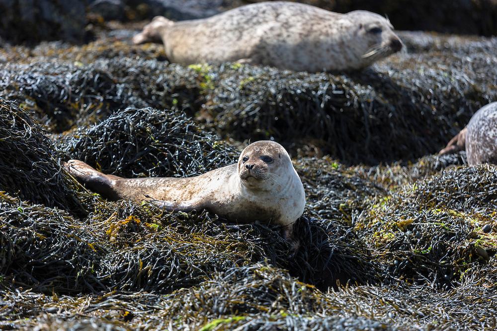 Common Seal or Harbour Seal, Phoca vitulina, pair basking on rocks and seaweed by Dunvegan Loch, Isle of Skye, Western Scotland