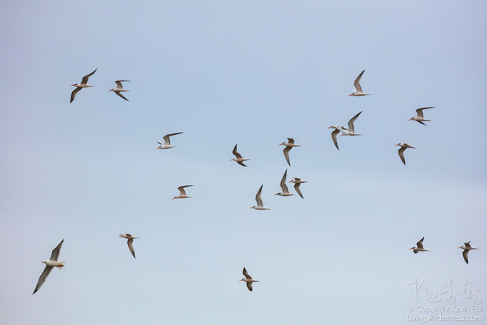 Nearly two dozen elegant terns (Thalasseus elegans) and a glaucous-winged gull fly together over the Malibu Lagoon in Malibu, California.