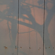 Trumpet tree, flowers and shadows against old wood wall..