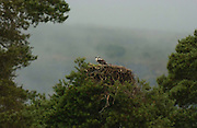 Osprey chick<br /> *ADD TO CART FOR LICENSING OPTIONS*