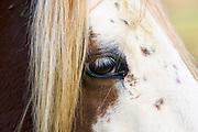 Skewbald horse's eye, Gloucestershire, United Kingdom.