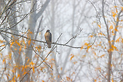A red-tailed hawk (Buteo jamaicensis) rests on a branch surrounded by golden autumn leaves in Magnuson Park, Seattle, Washington.