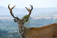 Red Deer - Cervus elaphus - male