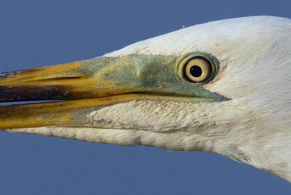 Great White Egret (Egretta alba) Pusztaszer Nature Reserve, Hungary