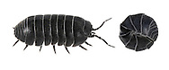 Pill Woodlouse - Amadillidium vulgare