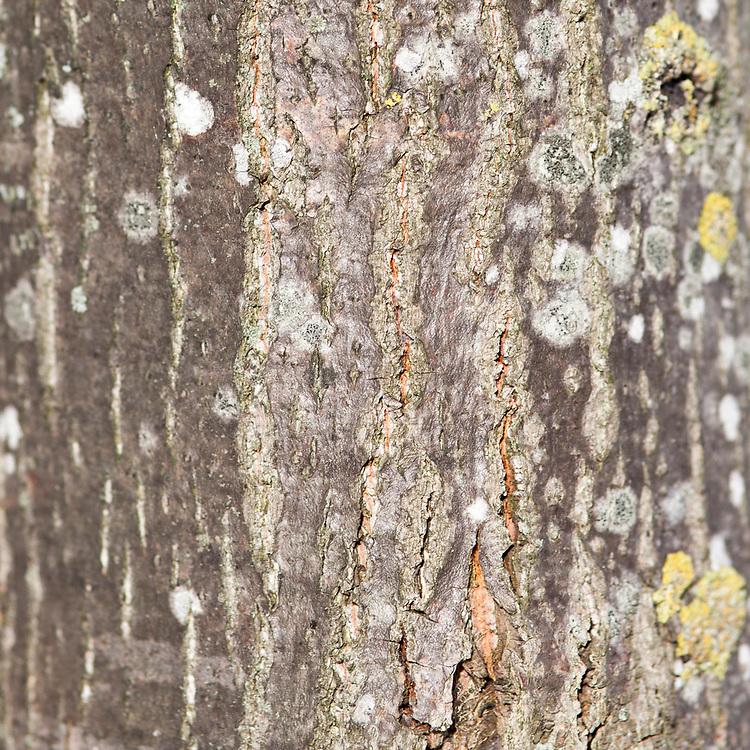Tilia Platyphyllos - Tilleul à grandes feuilles