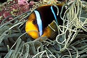 orangefin anemonefish, or two-banded anemonefish, Amphiprion chrysopterus, Palau ( Belau ), Micronesia<br /> ( Western Pacific Ocean )