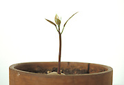 sprouting avocado tree in a pot