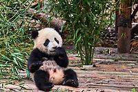 Chine, Province du Sichuan, Chengdu, Centre de recherche et de reproduction de Chengdu, Panda géant (Ailuropoda melanoleuca) // China, Sichuan province, Chengdu, Chengdu giant panda breeding research center
