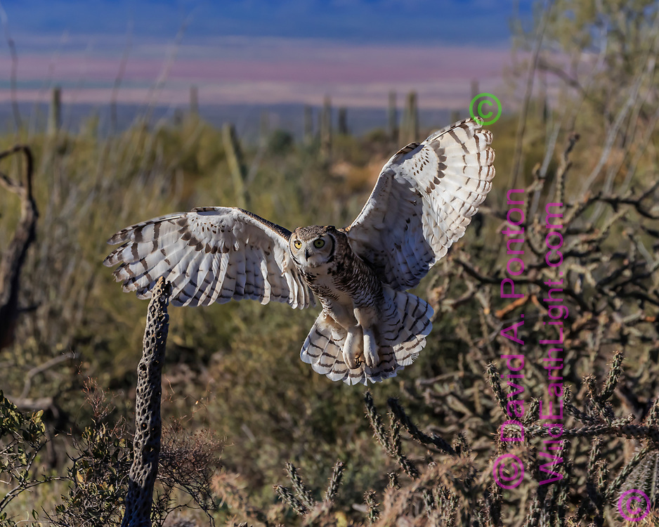 Great-horned owl flares wings and fans tail for landing, Sonoran Desert habitat, AZ, © David A. Ponton