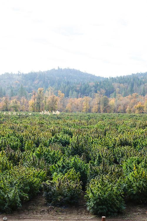 Cannabis farm in southern Oregon.
