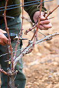 Monsieur Astruc tending to his vines. Mont Tauch Cave Cooperative co-operative In Tuchan. Fitou. Languedoc. Vines trained in Cordon royat pruning. Young vines. Man pruning vines. France. Europe. Vineyard.