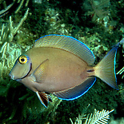 Ocean Surgeonfish inhabit reefs in Tropical West Atlantic; picture taken Little Cayman.