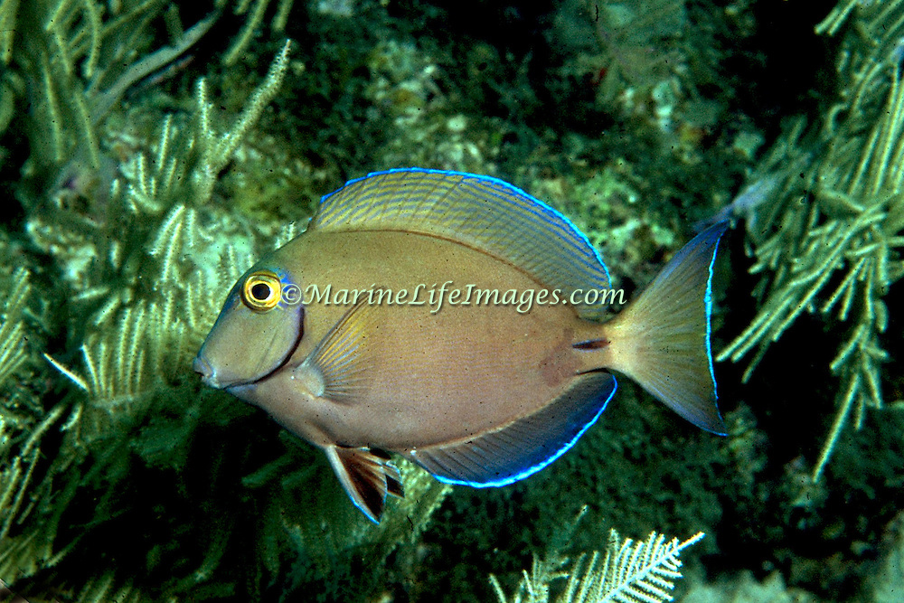 Ocean Surgeonfish inhabit reefs in Tropical West Atlantic; picture taken Little Cayman.