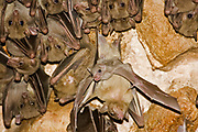 Egyptian rousette bat hanging from a cave ceiling. The Egyptian rousette, or Egyptian fruit bat, (Rousettus aegyptiacus) is a widespread African fruit bat. This species has recently been linked to the deadly Marburg virus and is possibly a vector for transmission of the disease. Photographed in The Mediterranean Region, Israel
