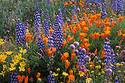 Lupine, coreopsis (Coreopsis californica), and California poppies (Eschscholzia californica) in the Tehachapi Mountains, Angeles National Forest, California USA