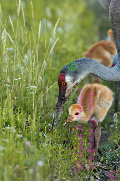 Sandhill crane adult forages in the soil in a lush green meadow in a wetland, with colt close by, © David A. Ponton