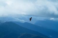 Ravens flying up on Hurricane Ridge, Olympic National Park, WA.