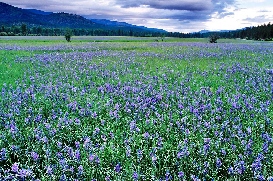 Large Field of Blue Camas Wildflowers near Huson, Montana, USA